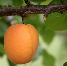 Apricot Kernel Carrier Oil - Cosmetic Grade - Refined