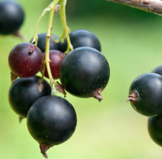 Black Currant Seed Carrier Oil