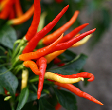 Chili Seed Essential Oil