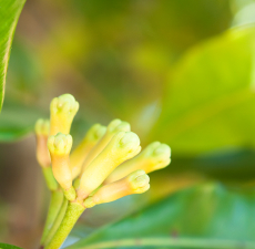 Clove Bud (Indonesia) Essential Oil