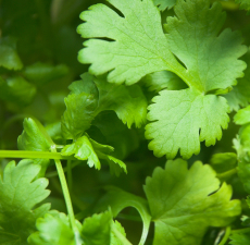 Coriander Essential Oil (Egypt)