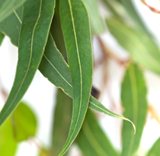 Eucalyptus Essential Oil (Blue Mallee)
