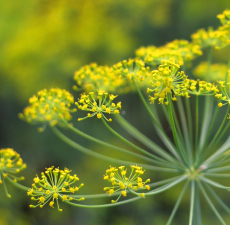 Fennel Organic Essential Oil