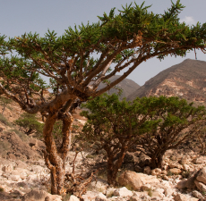 Frankincense Essential Oil (India)