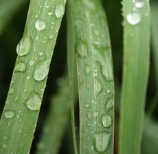 Lemongrass Essential Oil - Verified by ECOCERT