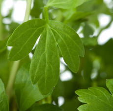Lovage Leaf Essential Oil