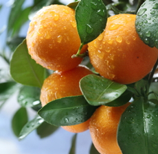 Mandarin (Sicily) Essential Oil