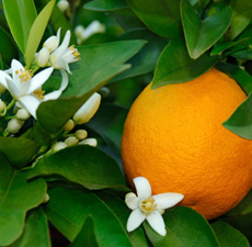Neroli Nature Identical Essential Oil (Phthalate Free)