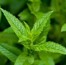 Peppermint Essential Oil (Japanese) - Verified by ECOCERT / Cosmos Approved