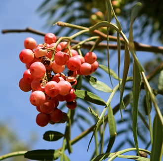 Pink Peppercorn Essential Oil