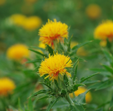 Safflower - High Oleic Organic Carrier Oil