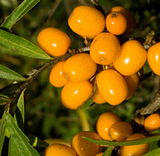 Sea Buckthorn Carrier Oil (CO2 Extracted)