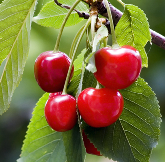 Sour Cherry Seed Organic Carrier Oil