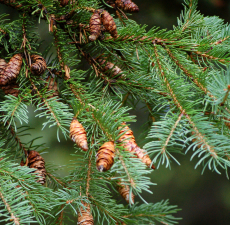 Spruce Black Organic Essential Oil