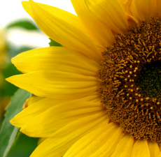 Sunflower Carrier Oil - RBDW - Linoleic