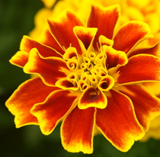 Tagetes Essential Oil (Egyptian)