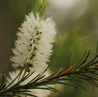 Tea Tree Organic Essential Oil (Australia)