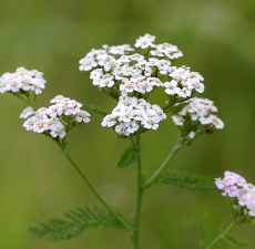 Yarrow Essential Oil (Blue)