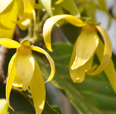 Ylang Ylang Essential Oil (#1)