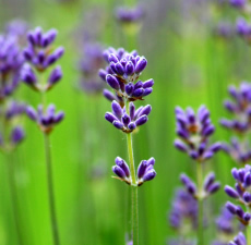 English Lavender Fragrance Oil