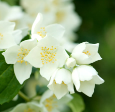 Jasmine Fragrance Oil