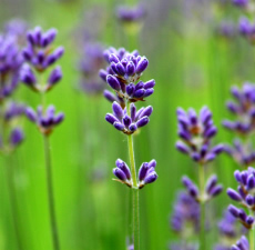 Lavender Essential Oil (Bulgaria) - Verified by ECOCERT