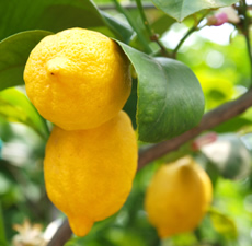 Lemon 5 Fold (Sicily) Essential Oil
