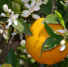 Orange Organic Essential Oil (Sweet)